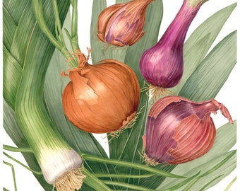 Dancing Onions Botanical Print - Botanical Watercolor Painting by Sally Jacobs - Kitchen Décor - Botanical Vegetable