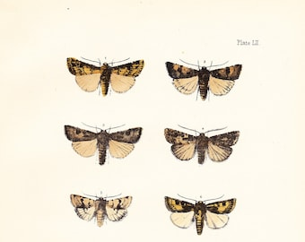 Antique Vintage Moth Print Plate LII . light feathered rustic, garden dart . original woodblock art dated 1896 . wall hanging