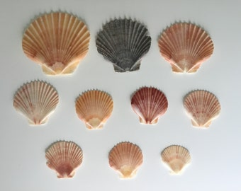 10 Real Sea Shells Pecten Flat Fan Scallop Authentic Natural Gulf Coast USA