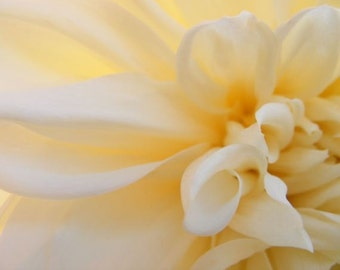Glow - Abstract Flower Photo - Cream Dahlia Closeup Photograph - 4x6, 5x7, 8x10, 11x14, 16x20