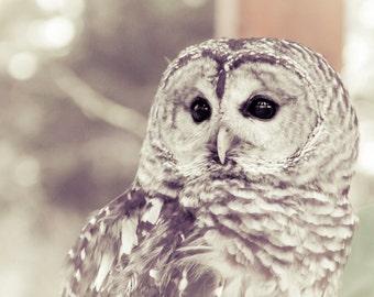 Owl Barred Owl White Gray Grey Bird Photography Nature Woods Forest Soft Dreamy Rustic Decor Birds of Prey, Fine Art Print