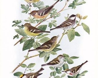 1917 Bird Print - Plate 96 - Warblers - Vintage Antique Art Illustration by Louis Agassiz Fuertes 100 Years Old