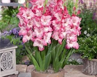 Gladiolus Bulbs, (not seeds) Perennial Flower 5 Bulbs (item No: 17)