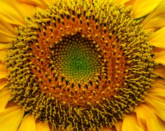 Radiant Sun Flower-Fine Art Photo Blank Greeting Card--Suitable for Framing-Copyright Protected