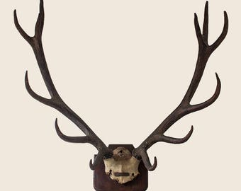 Vintage 12 Point Red Stag Antlers