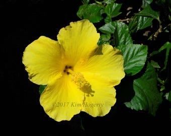 Hibiscus 0529 Yellow