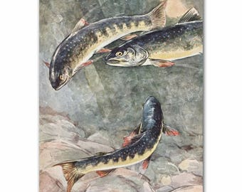 "Antique Fish Art, Trout Print (Home Office Decor, Gift for Father) --- ""Dolly Varden Trout"" No. 292"