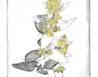 "Botanical Study of Lysimachia ""Loosestrife"" Flower Print"