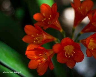 Red Blooming Buds ~ East to West Gallery ~ Fine Art Photography