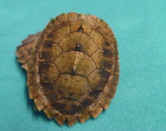 Baby Map Turtle Shells 2 - 3.5 inch Sizes Available #TU9