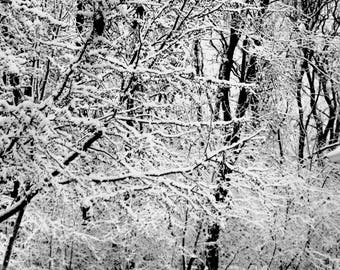 Winter Snow Covered Trees Black and White photo