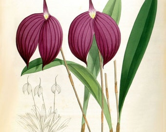 Orchid Masdevallia Haryana Victorian botanical illustration reproduction print