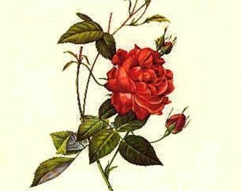Redoute Botanical Rose Print  40