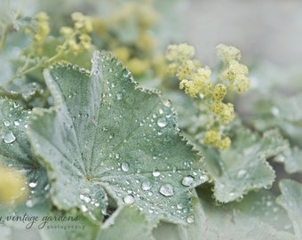 Lady's Mantle-flower photography-flower photo-cottage garden photography-summer - Original fine art photography print - FREE Shipping