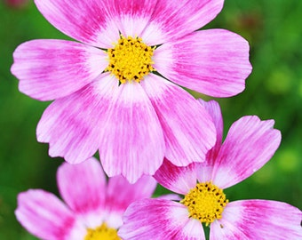 ACS)~HAPPY RING Cosmos~Seeds!!~~~~~~~Brilliant & Exciting Color!