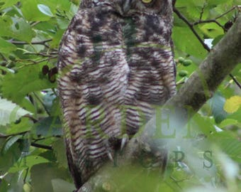 Photo Greeting Card of a Great Horned Owl in Pacific Northwest Alder Forest