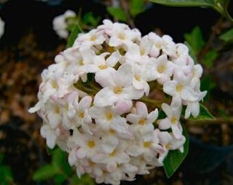 2 Juddi Viburnum Plants(Viburnum X Juddii)