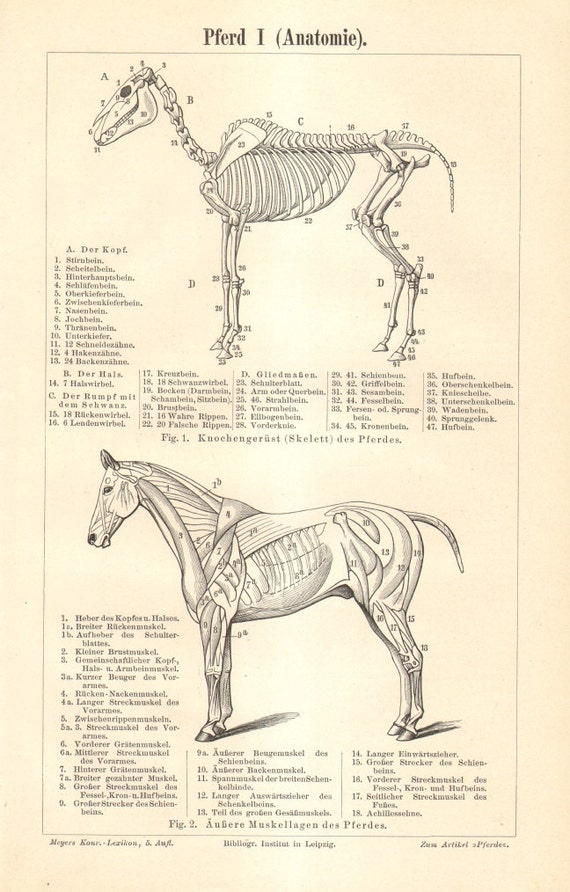 1896 Horse Anatomy Skeleton and Muscular System Exterior and