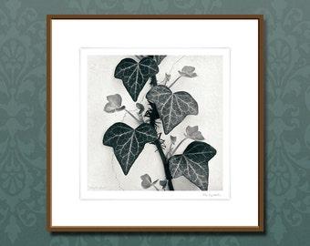 Original g62 fine art photography, framed art prints, The Ivy Wall, black and white wall art, nature art work, home decor