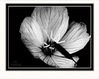 Primrose Night - Fine Art Print