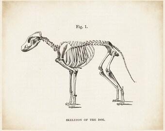 Dog Skeleton - Dog Art - Dog Picture - Dog Drawing - Skeleton Art - Antique Medical - Antique Scientific - Bones - Anatomy - Oddities