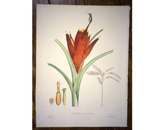 1827 BANANA PLANTAIN  MUSA flower lithograph - original antique print - vegetable fruit flower botanical lithograph