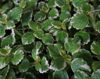 Swedish Ivy Mint (Plectranthus coleoides)