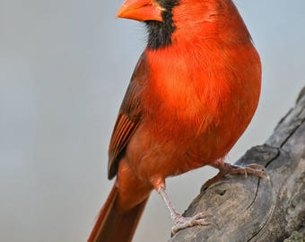 Male Cardinal,N. Carolina: archival print signed and matted