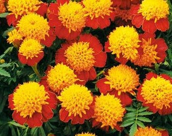 Tiger Eyes Marigold, 30+ flower heirloom seeds