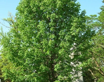 TreesAgain Potted Ohio Buckeye Tree - Aesculus glabra - 14 to 18+ inches
