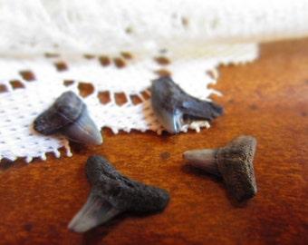 Prehistoric Shark Teeth Samples Early- Middle Miocene