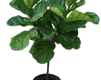 "Ficus Lyrata Tree Plant in 12"" Pot - Also Called Fiddle Leaf Fig or Pandurata - About 44"" tall - Nice!"