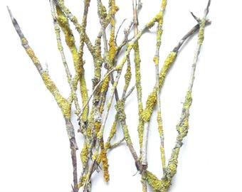 Yellow sticks,wood sticks,yellow mossy twigs for craft,cut twigs,mossy dried twigs,mossy branches,herbstliche dekor,yellow moss,natural moss