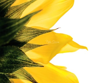 yellow 8x10 sunflower in light macro nature photo
