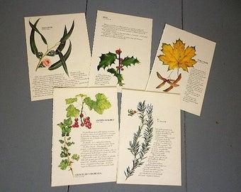 5 pages botanical - authentic vintage page 1991 - illustration catherine LACHAUD