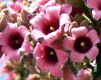 Brachychiton discolor aka Pink Flame Tree ... 15 seeds .. Buy 1 get 1 Free