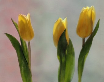 3 YELLOW TULIPS -  photography, giclee print, flower photography, botanical garden, home decor, floral home decor