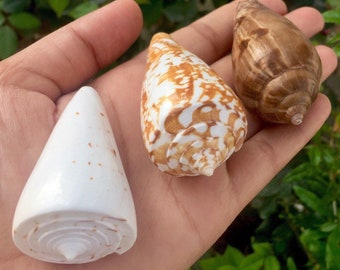 Cone and Bonnet Sea Shells