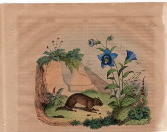 1835 exotic nature print rare original antique hand colored engraving -  botanical flower plant rodent animal