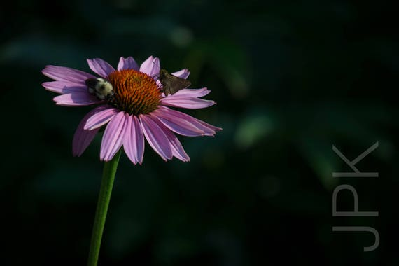 Purple Coneflower (Echinacea) with bee and butterfly, Western Massachusetts