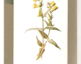 The Cow Wheat plant illustration.