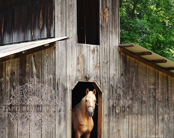 Beautiful white horse stepping out of her barn