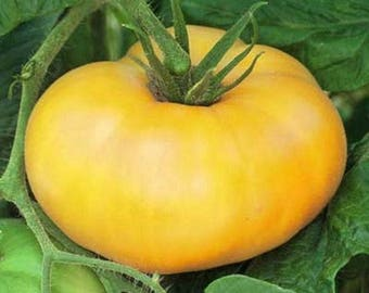 Heirloom tomato- AZOYCHKA- 85 day- YELLOW- Determinate- from Russia- 25 seeds per pack