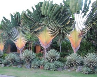 25  Ravenala Madagascariensis Seeds, Traveler's Palm Seeds