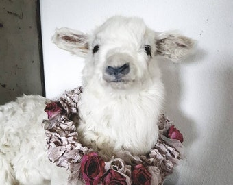 Taxidermy white vintage lamb rare beautiful stuffed preparation white lamb Easter