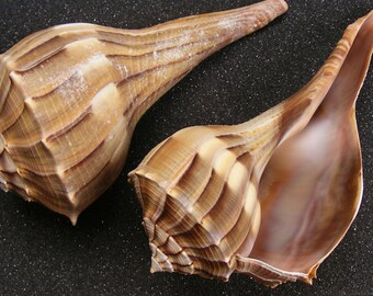 Busycon Contrarium Sea Shell(1 piece) 5 - 6 inches ~ Whelk Shell ~ Florida Whelk ~ Large Sea Shell ~ Conch Shell ~ Beach Decor ~ Brown Shell