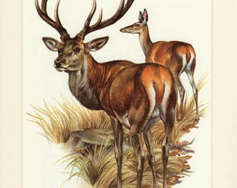 Vintage lithograph of the red deer from 1956