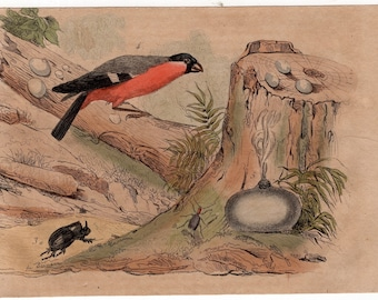 1835 exotic nature print rare original antique hand colored engraving - song bird botanical insect beetle