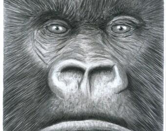 Gorilla Head - Pencil Drawing Animal Art Print : A4 Ltd Ed Of 100