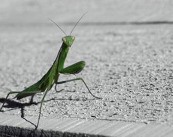 Art Photograph-- Mantis -- Gifts for men women, for her, him, macro, nature, kids, minimalist, nature, decor, wall art, prints